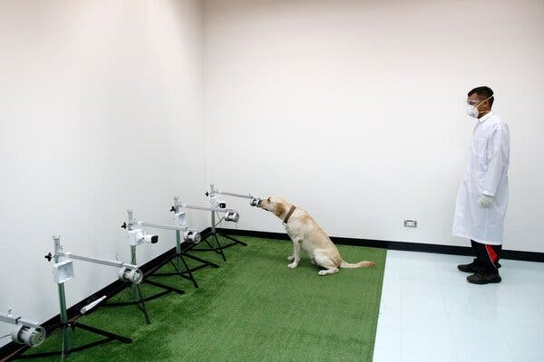 A sniffer dog being trained to detect coronavirus from human sweat samples at the Small Animal Teaching Hospital at Chulalongkorn University in Bangkok, Thailand, last month.